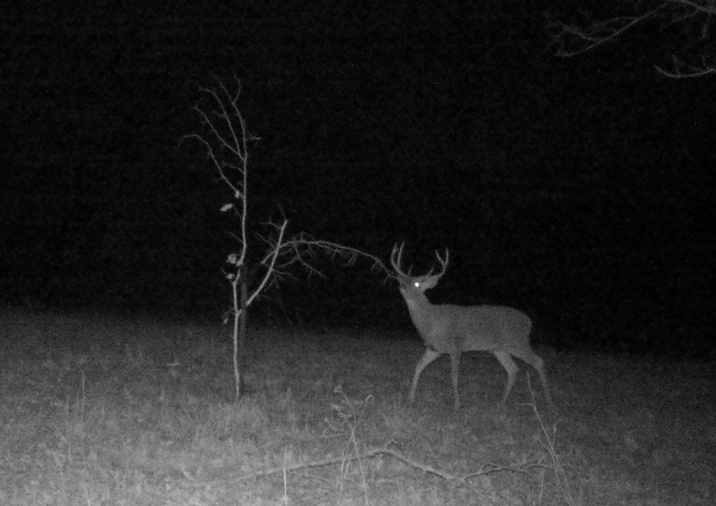 awesome big buck trail camera photo